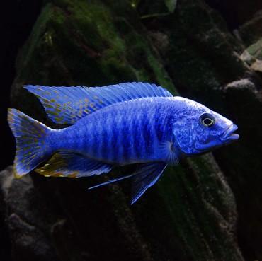 Sciaenochromis-fryeri