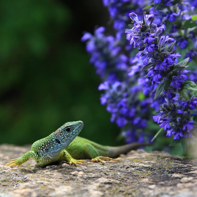 European Green Lizard / Ještěrka zelená