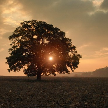 Morning-Oak-Tree