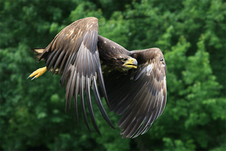 The White-tailed Eagle / Orel mořský