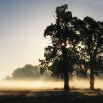 two-oaks-in-morning-mist