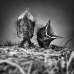 Redstarts