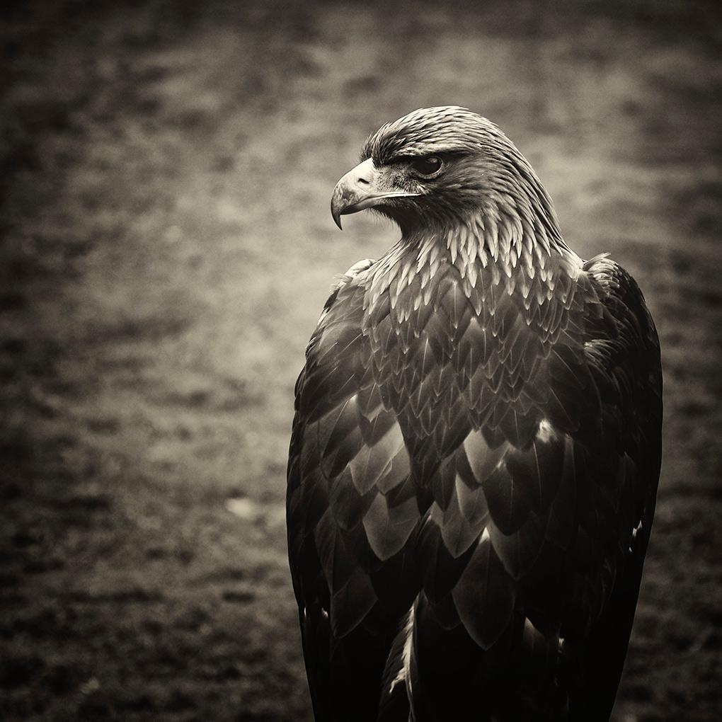 Steppe Eagle II / Orel stepní II