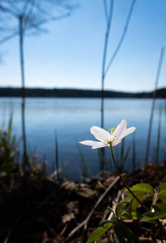 Windflower / Sasanka