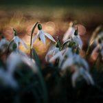 Snowdrop / Sněženka