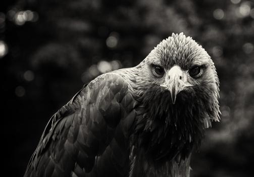 Steppe Eagle / Orel stepní