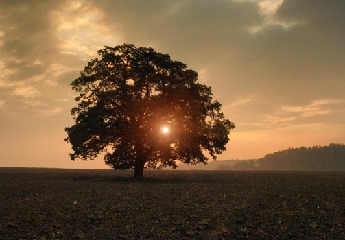 Morning by the Oak Tree / Ráno u dubu