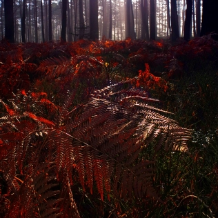 Red Fern / Červené kapradí