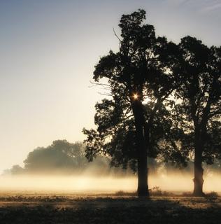 Two Oaks in Morning Mist / Duby v ranní mlze