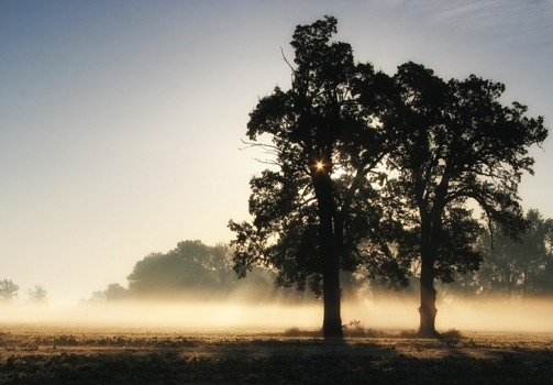 Two Oaks in Morning Mist / Duby v ranní mlze
