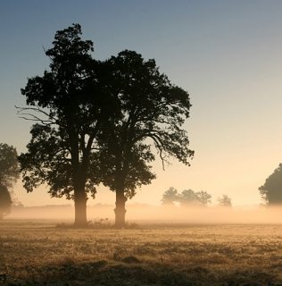 Two Oaks In the Morning Mist II / Duby v ranní mlze II